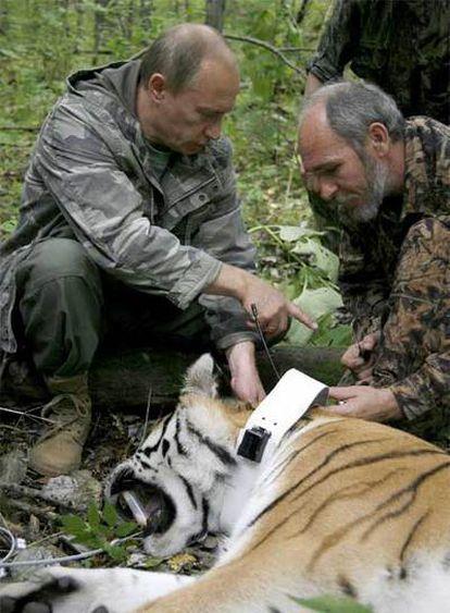 Putin observa una cría de tigre de 5 años, temporalmente inmovilizada por los científicos, durante la visita que realizó ayer a la Reserva de Ussuri, en Rusia.