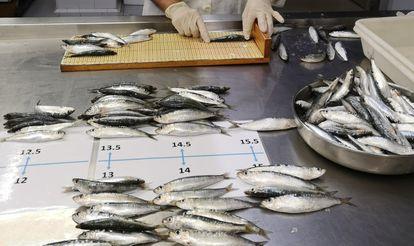 Algunas sardinas analizadas en la investigación de Marta Coll pasan por medición.