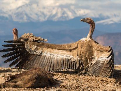 Dos buitres leonados con un animal muerto.