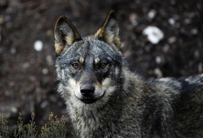 Lobo ibérico en el centro del lobo ibérico de Castilla y León, en Puebla de Sanabria (Zamora).