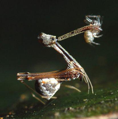 <i>Eriauchenius amber</i>, de la familia Archaeidae, fue descubierta junto con otras nueve especies nuevas de araña en Madagascar; con largo cuello y mandíbulas, esta se come a otras arañas.