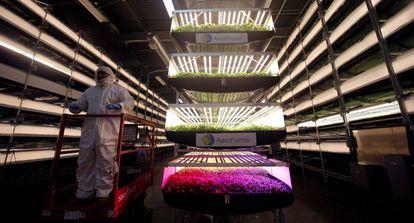 Un trabajador de AeroFarms, una empresa de granjas verticales en espacios cerrados.