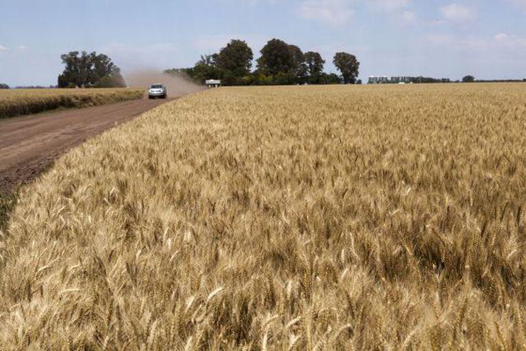 Plantaciones de trigo en Suipacha, Argentina.