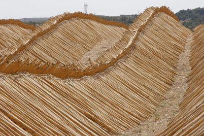 Cañas cortadas al mismo tamaño en la provincia de Teruel.