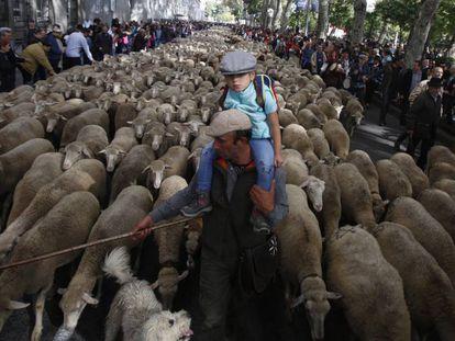 Las ovejas transhumantes pasan por Madrid.