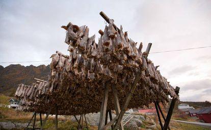 Secadero de bacalao en las Islas Lofoten (Noruega). Esta especie es una de las que sale peor parada por el calentamiento del mar.