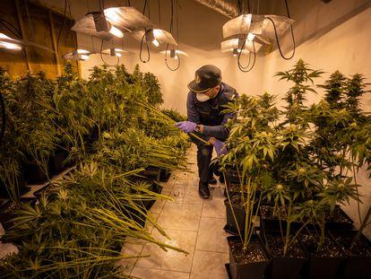 Un agente de la Guardia Civil desmantela una plantación ilegal de cannabis en Granada.