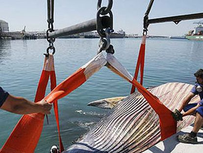 La autoridad portuaria evacua a la ballena, ya sin vida, en el puerto de Barcelona