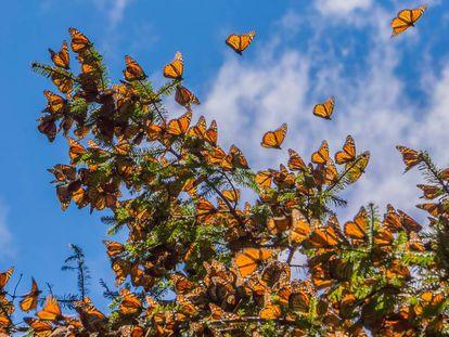 Mariposas monarca en una de las reservas de Michoacán (México).