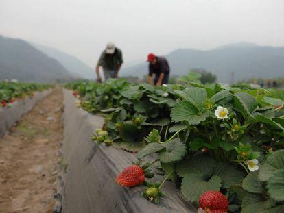 Productores de fresas en Argentina.