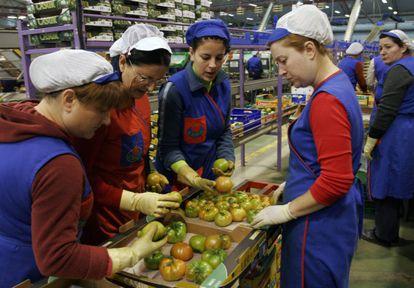 Un grupo de mujeres selecciona tomates en una línea de envasado de una empresa en Almería