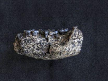 Mandíbula humana de 2,8 millones de años encontrada en Ledi-Geraru (Etiopía). Su nombre cientifico es LD350-1.