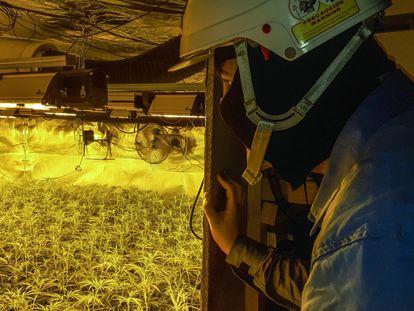 Técnico de Endesa interviene en una instalación eléctrica en una plantación ilegal de marihuana.