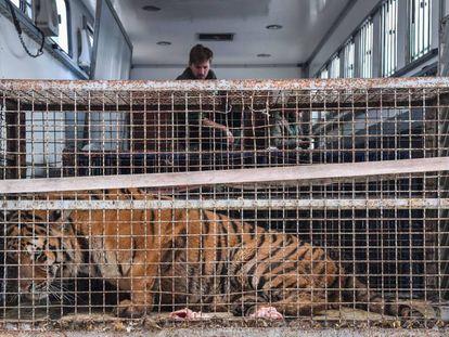Uno de los tigres, aún dentro de la jaula y el camión en el que llegaron hasta el puesto fronterizo de Koroszczyn.