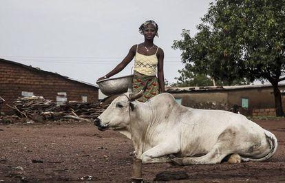 Una mujer pasa ante un cebú en Benín.