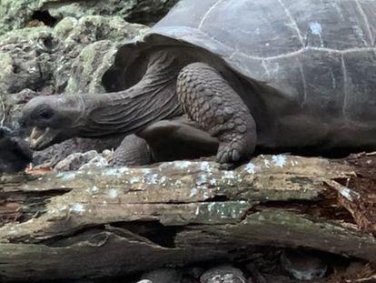 Una tortuga gigante caza un polluelo de charrán.