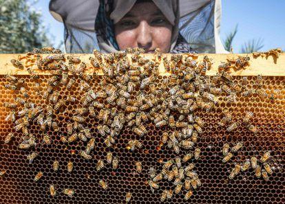 Un apicultor inspecciona el marco de una colmena de su granja de abejas, en la aldea de Khuza'a (franja de Gaza).