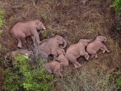 Los elefantes vagabundos descansan en Jinning, en la provincia china de Yunnan.