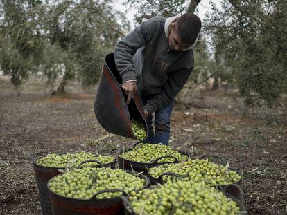 Un hombre trabaja en la recogida de la aceituna en Sevilla.