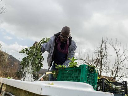 Ismael lava hojas de brócoli silvestre recién cortadas. El brócoli se empaquetará y venderá en los mercados con los que trabaja la cooperativa Barikama, formada por migrantes africanos.