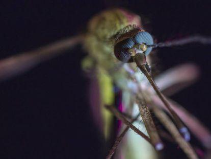 Mosquito de la especie 'Culex pipiens'.