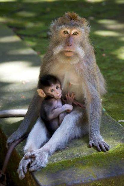 Una macaca cangrejera, como las investigadas en el estudio, junto a su cría.