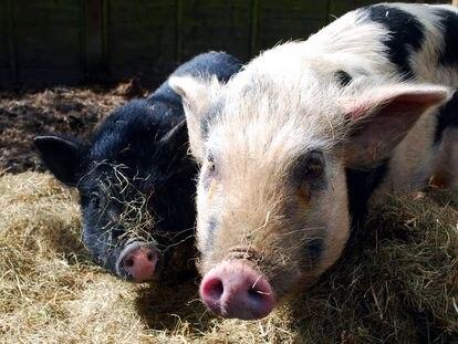 Butch (a la izquierda) y Roxi (a la derecha), los dos cerdos de la familia Whyman.