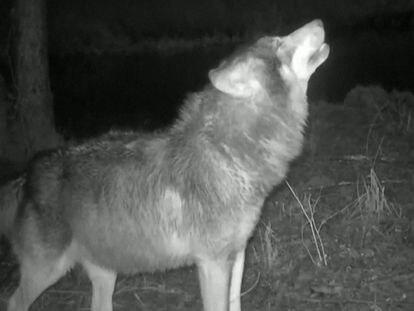 Así aúlla un lobo cuando se comunica con sus familiares
