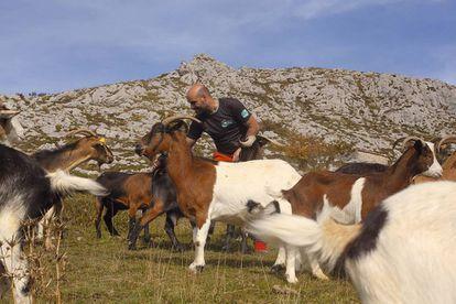 Javier Díaz con sus cabras en los Picos de Europa.