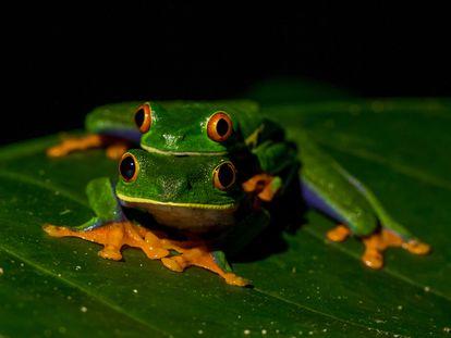 Dos ejemplares de ranas verdes de ojos rojos (Agalychnis callidryas), un anfibio que habita en Centroamérica, desde México hasta Colombia.