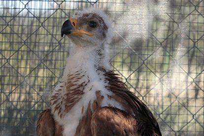 María Airam, primer pollo de águila imperial ibérica, que nació el pasado 7 de mayo en Sevilleja de la Jara ( Toledo), tras 42 días de incubación. Es la primera cría nacida en cautividad en el mundo.