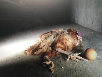 Imagen del vídeo publicado por la ONG Equalia de una granja de gallinas ponedoras en Madrid.