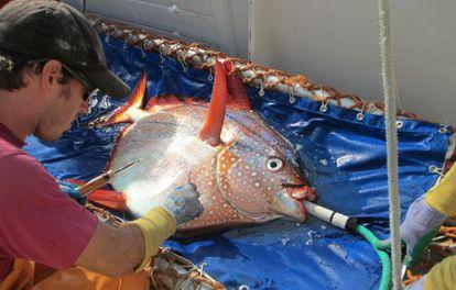 Los investigadores colocaron sensores térmicos en el interior y exterior de los peces para medir su temperatura antes y después de su liberación.