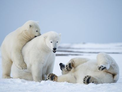 Tres osos polares en el Refugio Nacional de Vida Silvestre en el Ártico, en Alaska (EE UU), el 20 de septiembre de 2013.
