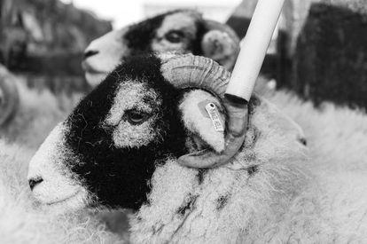 Los identificadores que llevan los animales son leídos vía Bluetooth por aparatos con la forma de un bastón.