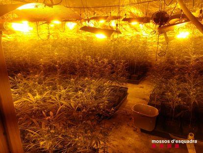 Cultivo de marihuana desmantelado por los Mossos d'Esquadra en Cabrera d'Anoia.