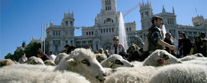 Un rebaño de ovejas pasa por delante de la Cibeles, frente al antiguo palacio de comunicación y actual sede del ayuntamiento