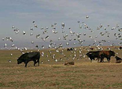 La finca Zahariche, en la localidad sevillana de Lora del Río, donde se crían los toros de la ganadería de Miura.