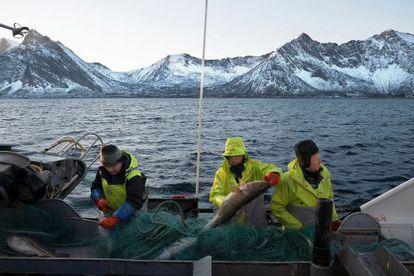 André Vikan (imagen de abajo, a la derecha) ha venido a bordo del Froymann con su tripulación desde Froya, al sur de Noruega, para pescar 200 toneladas de skrei, el pata negra de los bacalaos. La temporada del skrei dura desde enero hasta abril.