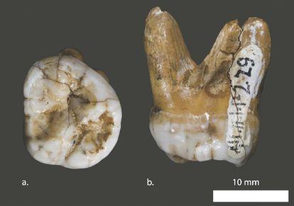 Molar hallado en la cueva de Denisov (sur de Siberia) perteneciente a una población asiática estrechamente relacionada con los neandertales europeos