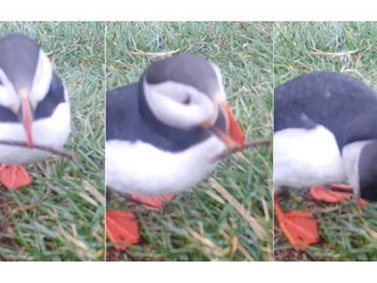 Tres fotogramas del ave usando el palito. En el vídeo, también se muestra al frailecillo preparando el nido.