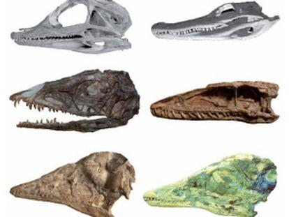 Juvenile Alligator skull and adult Alligator skull. Middle: Juvenile and adult Coelophysis skulls. Bottom: Juvenile and adult Archaeopteryx skulls.