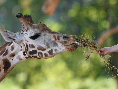Una persona dando de comer a una jirafa.