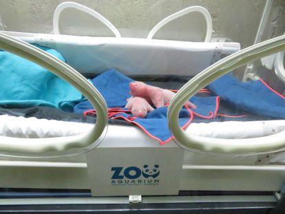 Las crías de pandas recién nacidas en una incubadora del Zoo Aquarium de Madrid, este lunes.