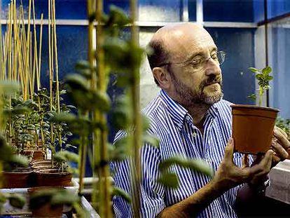 Pere Puigdoménech, en su laboratorio de genética vegetal (CSIC-IRTA), en Barcelona.