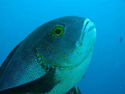 El pez de arrecife más longevo hallado, de 81 años.