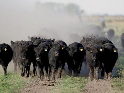 Un grupo de terneros en un rancho situado a un centenar de kilómetros de Buenos Aires, Argentina.