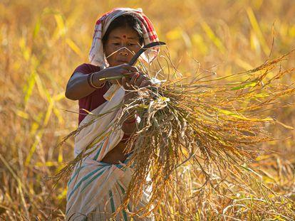 Una granjera india trabaja en un arrozal en las afueras de Gauhati, en el noreste del estado de Assam, en India, el 9 de noviembre de 2020.