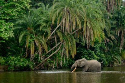 Un elefante africano de selva en el río Lekoli River, en Congo.