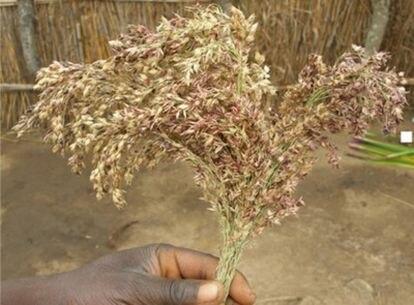 El sorgo es el principal cereal consumido actualmente en África subsahariana